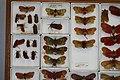 Fulgoridae Drawers - 5036708272.jpg