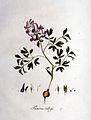 Fumaria bulbosa — Flora Batava — Volume v1.jpg