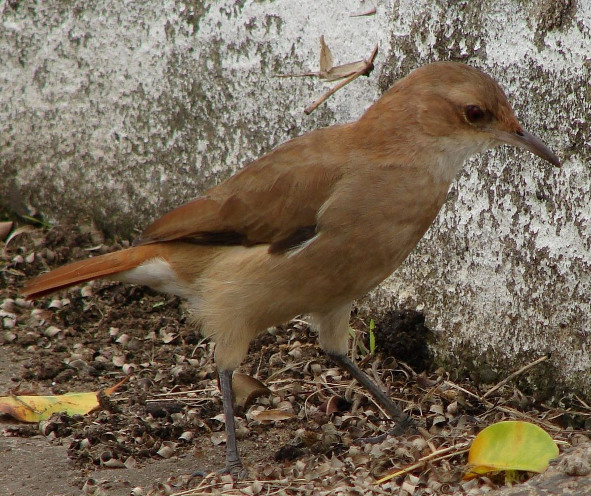list of birds of argentina wikipedia