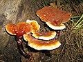 GANODERMA LUCIDUM (Curt. Fr.) Karsten (6006072051).jpg