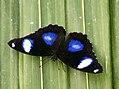 Gaint egg fly Hypolmnas Bolina (8623133968).jpg