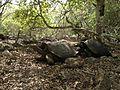 Galapagos tortoises in 2013.JPG