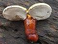 Ganoderma curtisii (Berk.) Murrill 349293.jpg