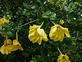 Gardenia volkensii subsp. volkensii (11492112854).jpg