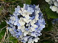 Garden hydrangea - Hortensia.JPG