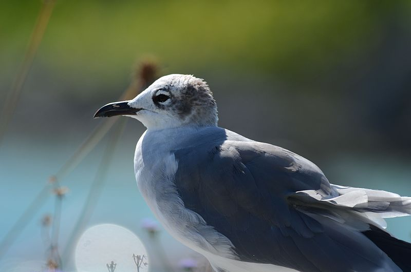 File:Gaviota Reidora, Laughing Gull, Leucophaeus atricilla (11060850826).jpg