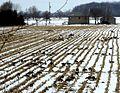 Geese in the corn field stubble (5372865305).jpg