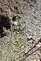Genista scorpius kz05.jpg