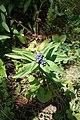 Gentiana cruciata, familija Gentianaceae 01.jpg