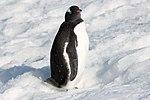 Gentoo Penguin Orne Harbour Antarctica (33460794478).jpg