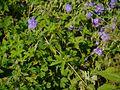 Geranium pratense L. (7813209052).jpg