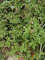 Geranium purpureum-I2.jpg