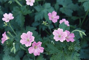 Graham Stuart Thomas - Geranium x oxonianum 'Claridge Druce' was a notable introduction by Graham Thomas while he was at Sunningdale Nurseries