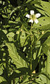 Geum laciniatum var. trichocarpum ROUGH AVENS (3328625944).jpg