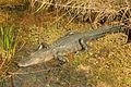 Gfp-american-alligator.jpg