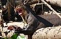 Giant Otter (Pteronura brasiliensis) eating a Sailfin Catfish (Pterygoplichthys sp.) - Flickr - berniedup.jpg