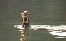 Giant Otter Wikipedia