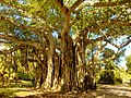 Giant tree in Hugh Taylor Birch Park, Fort-Lauderdale, Florida - panoramio.jpg