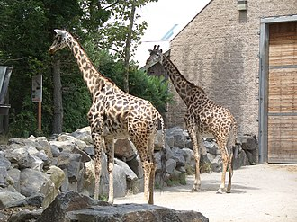 Roger Williams Park Zoo - Image: Giraffa camelopardalis Roger Williams Park Zoo, USA 8a