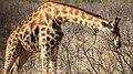 Giraffe (24377489488).jpg