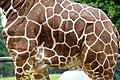 Giraffe (2681215036).jpg