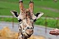 Giraffe (7006267082) (2).jpg