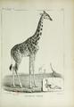 Giraffe du Sennaar.png