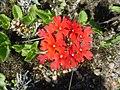 Glandularia peruviana.jpg