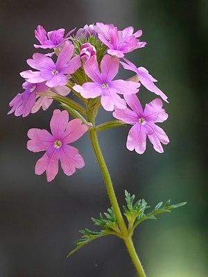 Verbenaceae - Glandularia pulchella in Kerala