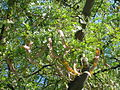 Gleditsia triacanthos fruits Poland.JPG