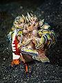 Glossodoris cincta - Zenopontonia rex - (16705358184).jpg