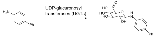 GlucuronidationBiphenylAmine.svg