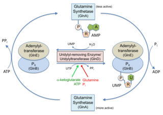 Nucleotidyltransferase class of enzymes
