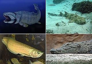 Gnathostomata Infraphylum of vertebrates