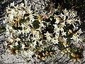 Gnidia pinifolia Hangklip.jpg