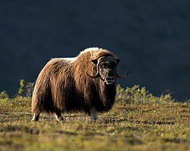 Golden Light Muskox.jpg