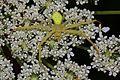 Goldenrod Crab Spider - Misumena vatia, Julie Metz Wetlands, Woodbridge, Virginia - 7558359780.jpg