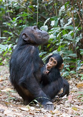 Chimpanzee female with baby chimp