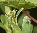 Gonocerus acuteangulus Nymphe.jpg