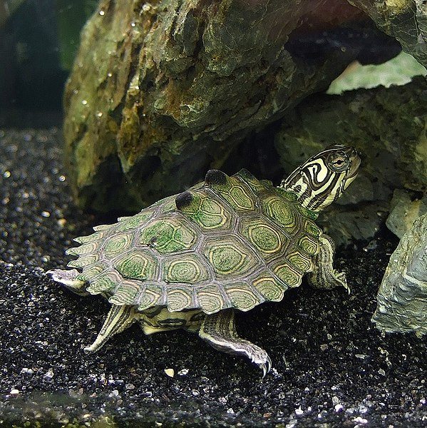 Black Knobbed Map Turtle