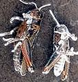 Grasshoppers killed by Beauveria bassiana USDA.jpg