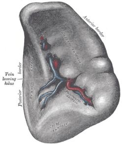 Splenic artery wikipedia for Aneurysm of the spleen
