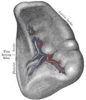 Splenic artery