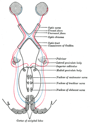 Abducens nucleus - Image: Gray 774