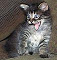 Gray stripy Kitten - 1.JPG