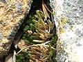 Great Basin spikemoss, Selaginella watsonii (15125923973).jpg