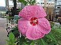 Great big Hibiscus! (6167319295).jpg