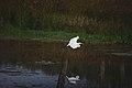 Great egret in flight (5967139995).jpg