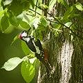 Great spotted woodpecker (28139612378).jpg