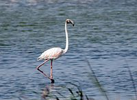 Greater flamingo sub adult (1).jpg